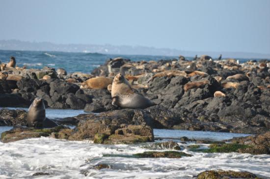 菲利普島野生海豹生態遊