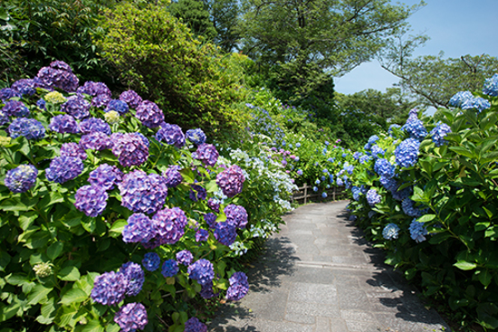 下田城山公園紫陽花