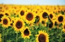 《增遊》京畿道太陽花公園(賞太陽花) (8月1日至15日出發適用)