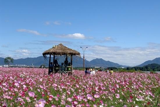 《增遊》九里波斯菊公園(賞波斯菊) (9月25日至30日出發適用)