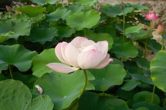 《增遊》奉元寺(賞荷花慶典) (7月20日至8月20日出發適用)