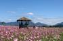 《增遊》九里波斯菊公園(賞波斯菊) (9月25日至10月5日出發適用)