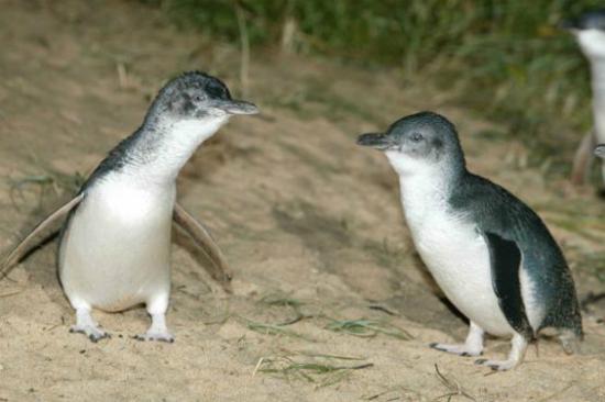 夜觀神仙企鵝