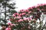 官門山景區~杜鵑園
