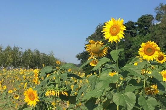 南陽漢江市民公園(賞太陽花)