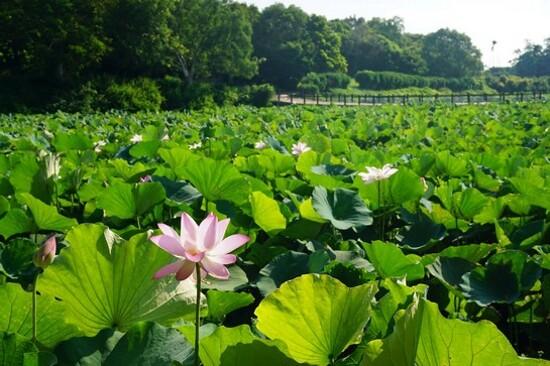 江陵濕地公園(賞蓮花)