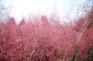《增遊》漢江公園(賞粉紅亂子草)(11月1日至15日出發團隊適用)
