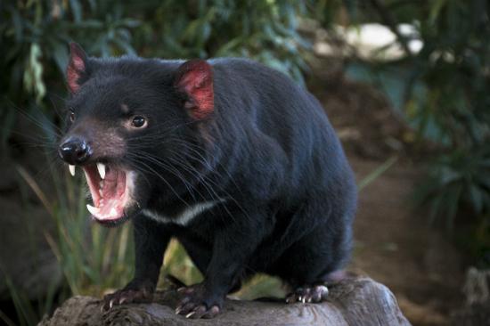 塔斯曼尼亞魔鬼-袋獾