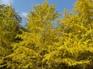 黃金銀杏林