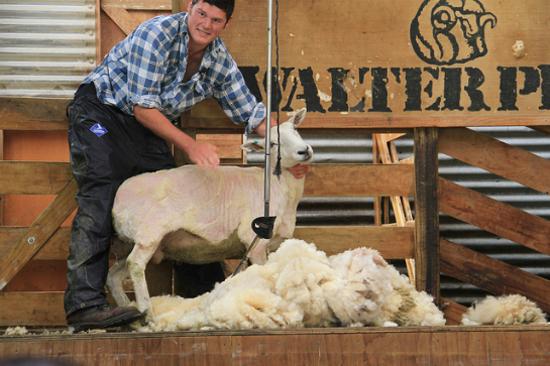 瓦爾特峰高原牧場剪羊毛表演