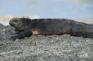 海洋鬣蜥 (2)