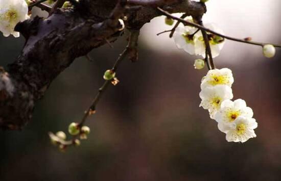 雙塘印雪賞梅花