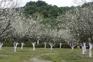 蘿崗香雪公園