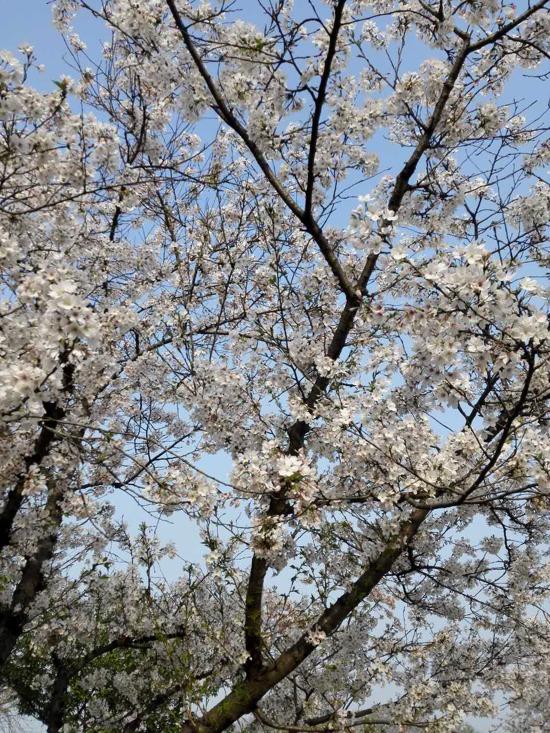 東湖磨山櫻花