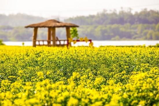 九里漢江公園(賞油菜花)