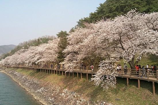 安東河回村賞櫻花