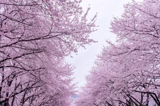 龍頭山公園(賞櫻花)