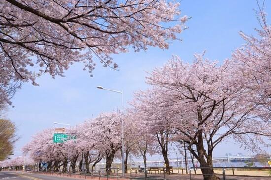 汝矣島輪中路(賞櫻花)