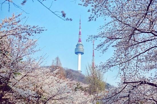 N首爾塔公園 (櫻花
