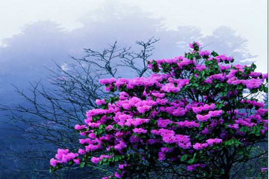 神農架風景區-高山杜鹃
