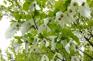 神農架風景區-鴿子花