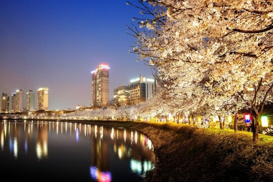 蠶室石村湖畔(賞夜櫻)