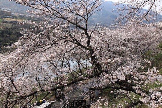 河東雙溪寺~十里櫻花路