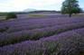 薰衣草Lavender園