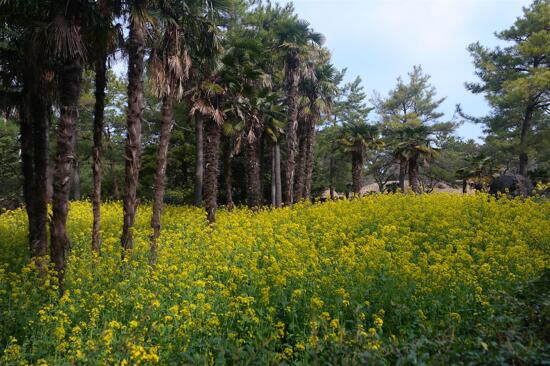 翰林公園-油菜花