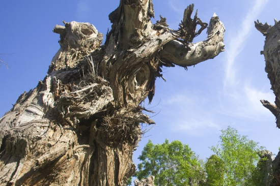 野馬古生態園-千年胡楊枯木