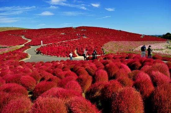 Hitachi海濱花園 掃帚草2