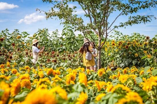 《增遊》金京淑農埸(賞太陽花)(8月1日至31日出發團隊適用)