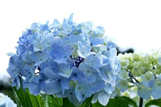 《增遊》CamelliaHill山茶花之丘(賞繡球花)(7月1日至30日出發團隊適用)