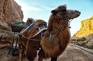 水洞溝-駱駝車