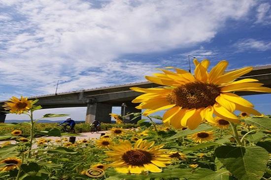 《增遊》南陽‧漢江市民公園(賞太陽花)(8月21日至9月12日出發團隊適用)