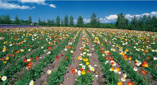 富良野春之花