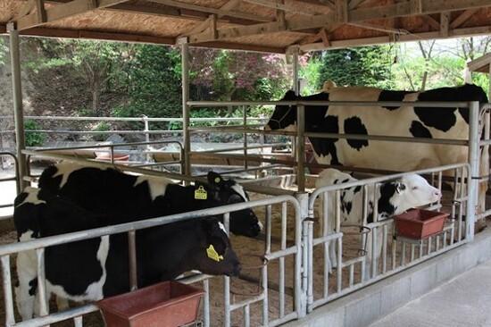清溪牧場(乳牛)