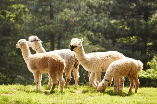 Alpaca World 草泥馬公園