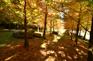 黃金水杉林