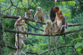 野生金絲猴