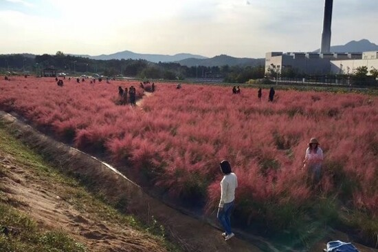 楊州Nari公園(賞波波草)
