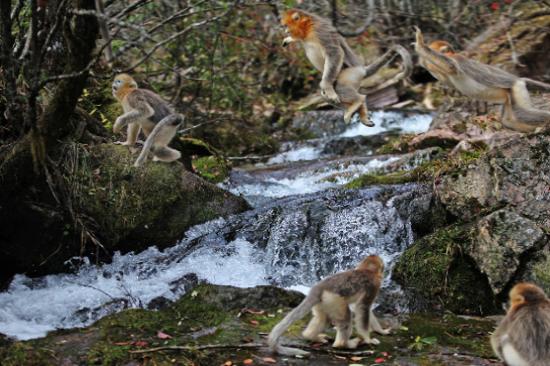 神農架~野生金絲猴