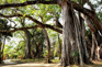 芒令獨樹成林