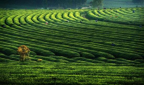 鳳凰溝風景區 - 茶海