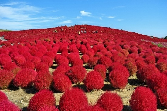 Hitachi海濱花園 掃帚草