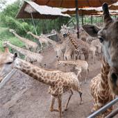 【野生動物園 X 自助午餐】│ 曼谷自由行套票3-31天