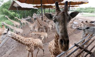 【野生動物園 X 自助午餐】動物全接觸!│ 曼谷自由行套票3-31天