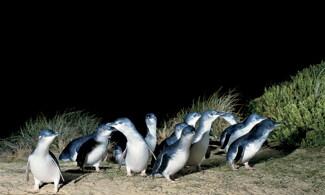 【菲利普島一天團】傍晚時分欣賞企鵝歸巢 | 國泰航空墨爾本自由行套票4-31天