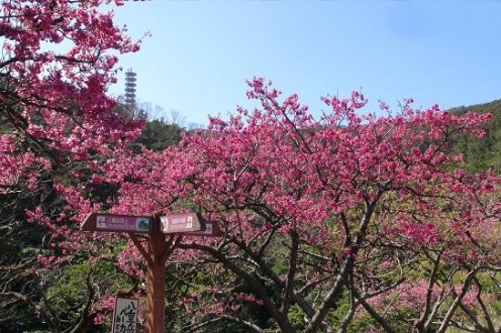 八重岳櫻花