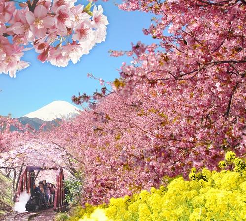 【松田櫻花祭】冬季尾聲搶先綻放│包pocket wifi租借服務│東京自由行套票3-31天